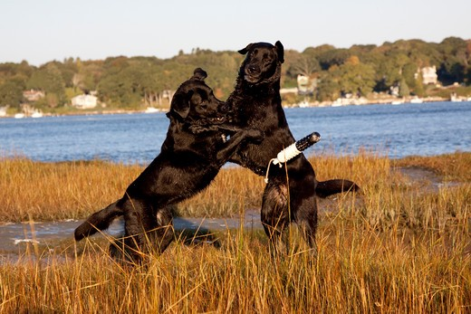 Stock Photo: 4141-55393 Black Labrador Retrievers Sparring Over A Training Bumper, In Salt Marsh; Charlestown, Rhode Island, Usa (Jc)
