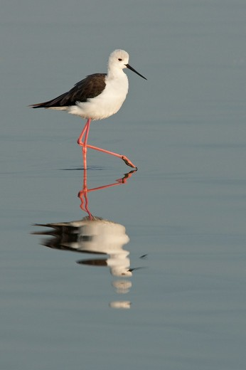 Stock Photo: 4141-5541 common stilt, himantopus himantopus; lake nakuru national park, kenya.