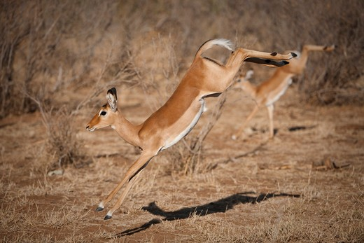 young impala leaping, aepycetos melampus; samburu national reserve, kenya. : Stock Photo
