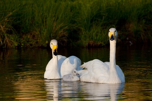 Whooper Swan (Cygnus Cygnus) Adult Pair With Cygnet; Captive; R: Eurasia : Stock Photo