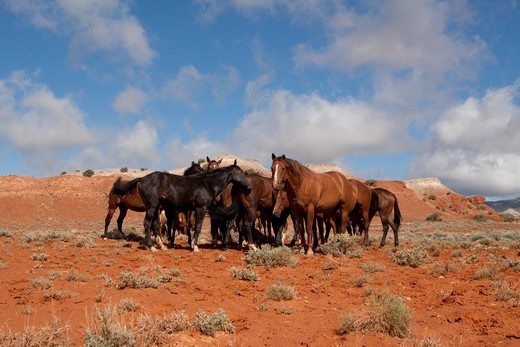 Stock Photo: 4141-55587 Herd Of Wild Horses In Red Rock Country Of Wyoming, Usa