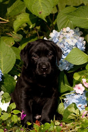 Stock Photo: 4141-55697 Portrait Of Black Labrador Retriever Pup With Hydrangea, Etc; Norwich, Connecticut, Usa (Gt)
