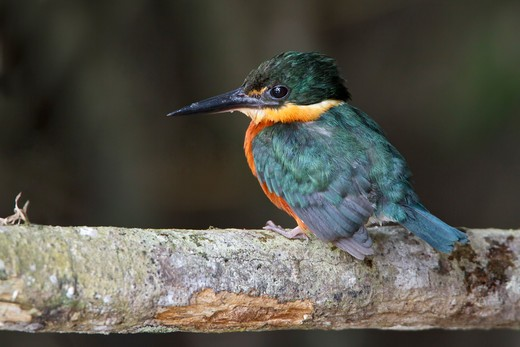 Stock Photo: 4141-55777 American Pygmy Kingfisher (Chloroceryle Aenea) Perched On A Branch In Ecuador.