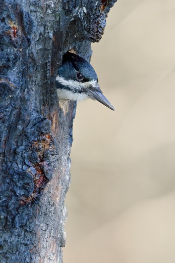 Stock Photo: 4141-55868 Black-Backed Woodpecker (Picoides Arcticus)  Perched On A Burned Tree Trunk In Manitoba, Canada.