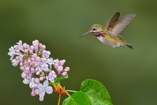 Stock Photo: 4141-55935 Calliope Hummingbird (Stellula Calliope) In Flight In British Columbia, Canada.