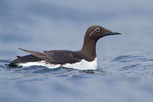 Common Murre (Uria Aalge) Swimming In The Atlantic Ocean Off The Coast Of Newfoundland, Canada. : Stock Photo