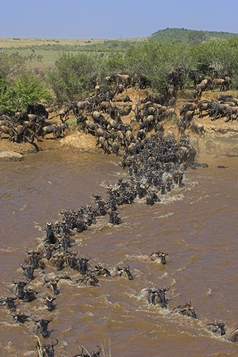 Stock Photo: 4141-561 common wildebeest connochaetes taurinus crossing river during migration masai mara, kenya