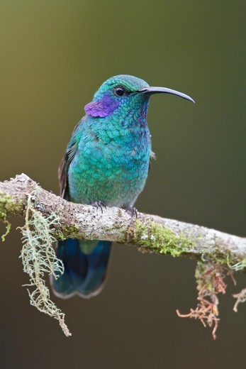 Stock Photo: 4141-56123 Green Violet-Ear (Colibri Thalassinus) Perched On A Branch In Costa Rica.