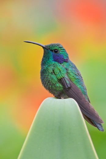 Stock Photo: 4141-56124 Green Violet-Ear (Colibri Thalassinus) Perched On A Branch In Costa Rica.