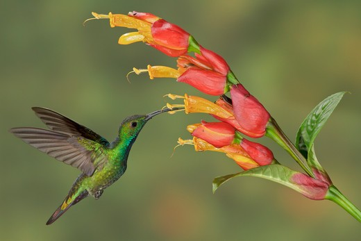Green-Breasted Mango (Anthracothorax Prevostii) Flying And Feeding At A Flower In Costa Rica. : Stock Photo
