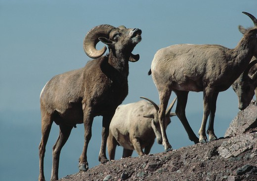 desert bighorn sheep ovis canadensis male in flehmen display arizona, usa  : Stock Photo