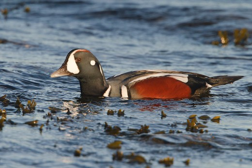 Harlequin Duck (Histrionicus Histrionicus) Swimming On The Ocean Near Victoria, Bc, Canada. : Stock Photo