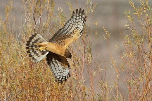 Northern Harrier (Circus Cyaneus) Flying At The Bosque Del Apache Wildlife Refuge Near Socorro, New Mexico, Usa. : Stock Photo