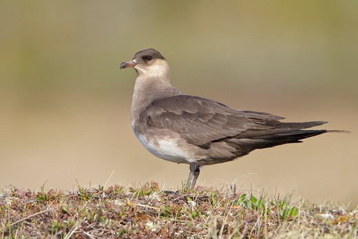 Stock Photo: 4141-56278 Parasitic Jaeger (Stercorarius Parasiticus) On The Tundra In Churchill, Manitoba, Canada.