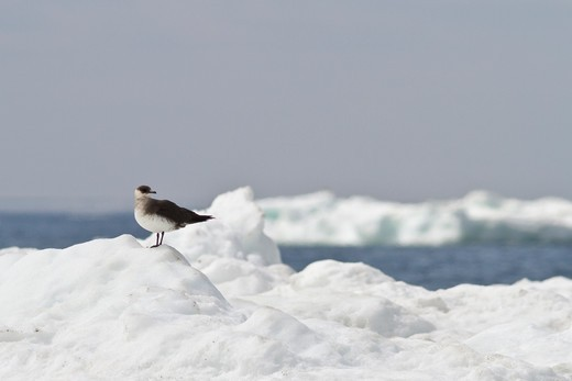 Stock Photo: 4141-56281 Parasitic Jaeger (Stercorarius Parasiticus) Perched On The Ice In Churchill, Manitoba, Canada.