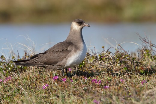 Parasitic Jaeger (Stercorarius Parasiticus) On The Tundra In Churchill, Manitoba, Canada. : Stock Photo