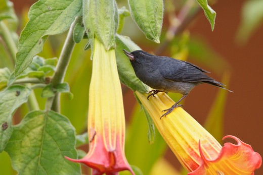 Slaty Flowerpiercer (Diglossa Plumbea) Feeding On A Flower In Costa Rica. : Stock Photo