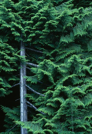 Stock Photo: 4141-5645 western red cedar thuja plicata washington, north western usa