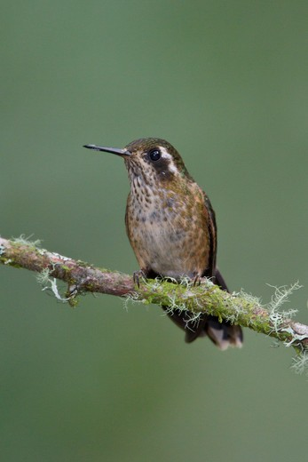 Stock Photo: 4141-56462 Speckled Hummingbird (Adelomyia Melanogenys) Perched On A Branch In Ecuador.