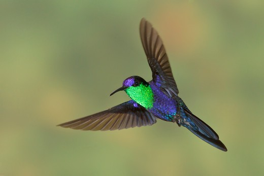 Stock Photo: 4141-56545 Violet-Crowned Woodnymph (Thalurania Columbica) Flying And Feeding At A Flower In Costa Rica.