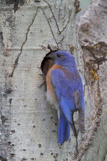 Stock Photo: 4141-56553 Western Bluebird (Sialia Mexicana) Perched At Its Nest Cavity In The Okanagan Valley, Bc, Canada.