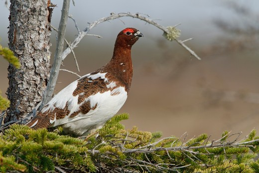 Willow Ptarmigan (Lagopus Lagopus) On The Tundra In Churchill, Manitoba, Canada. : Stock Photo