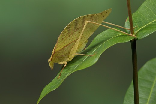 Stock Photo: 4141-56636 Katydid Perched On A Branch In Costa Rica.