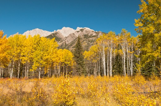 Stock Photo: 4141-56748 Quacky Aspen Color In Bow Valley At Banff National Park   Populus Tremuloides