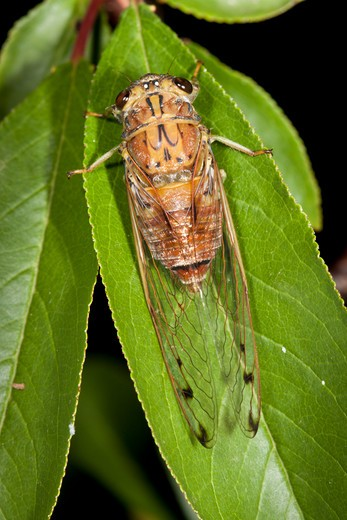 Stock Photo: 4141-56795 Male Brown Bunyip Cicada (Tamasa Tristigma) On Leaf. November 2009. Hopkins Creek. New South Wales. Australia.