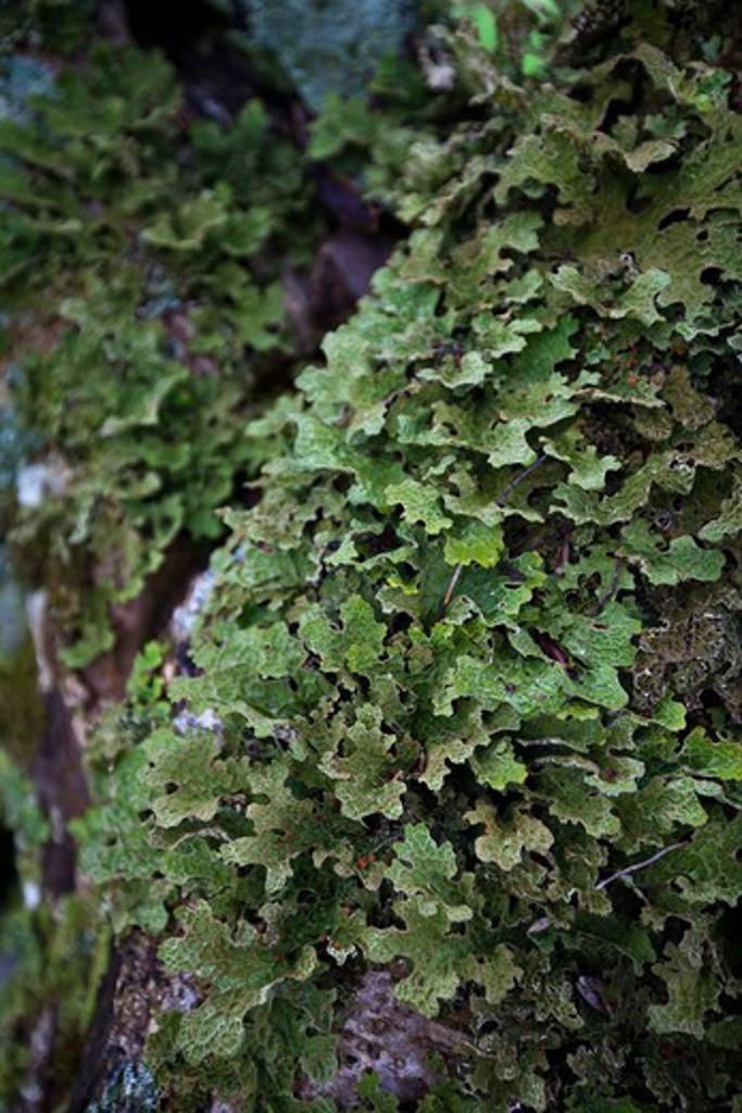 Tree Lungwort, Lobaria Pulmonaria : Stock Photo