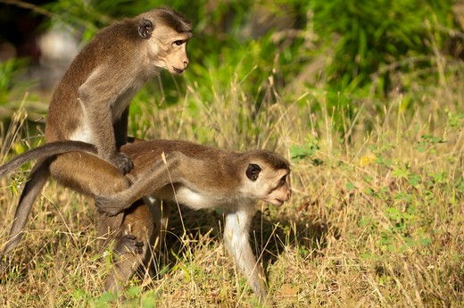 Stock Photo: 4141-57099 Dry Zone Toque Macaque (Macaca Sinica Sinica) Monkeys Mating. Archaeological Reserve, Polonnaruwa, Sri Lanka. Iucn Red List Classification: Endangered