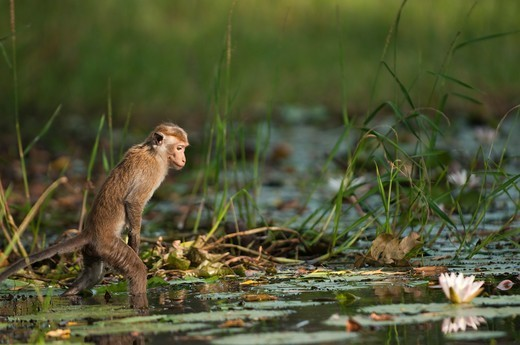 Stock Photo: 4141-57133 A Toque Macaque (Macaca Sinica Sinica) Searches For Water Lilly Buds. These Are A Popular And Valuable Food Source For The Monkeys. Archaeological Reserve, Polonnaruwa, Sri Lanka. Iucn Red List Classification: Endangered