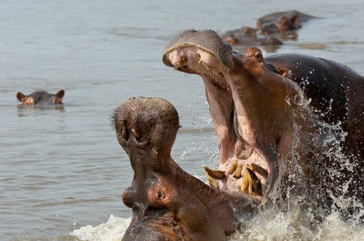 Stock Photo: 4141-57166 Hippopotamus, Hippopotamus Amphibious, Territorial Dispute Between Two Male Hippos, South Luangwa National Park, Zambia