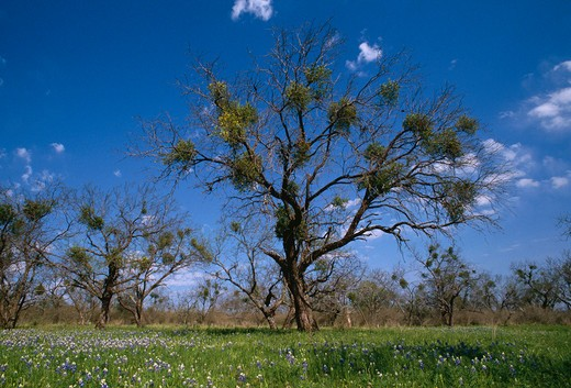 Stock Photo: 4141-5733 american mistletoe phoradendron flavescens in mesquite tree texas, usa