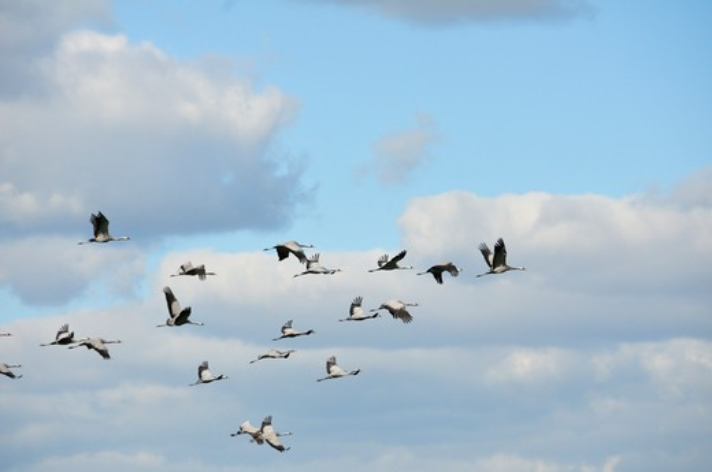 Stock Photo: 4141-57671 Common Crane Grus Grus, Biebrza National Park, Northeastern Poland