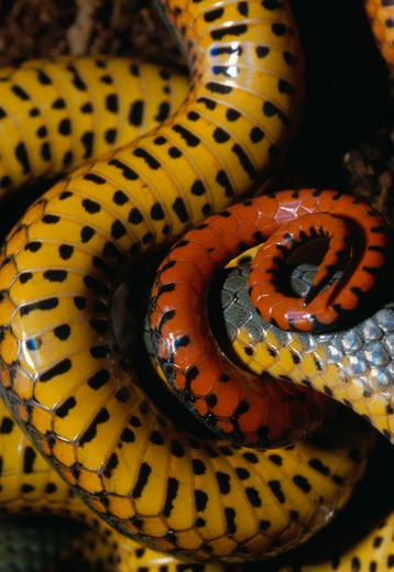 ring-necked snake diadophis punctatus ventral detail california, western usa  : Stock Photo