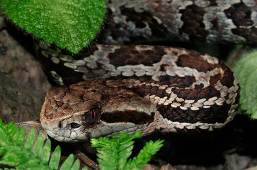 Toboba De Altura, Cerrophidion Godmani, San Josã© Province, Costa Rica : Stock Photo