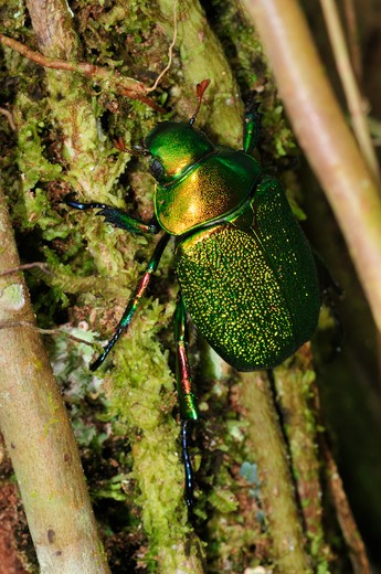 Unidentified / Undescribed Scarab Beetle, Yasuni National Park, The Amazon, Ecuador : Stock Photo