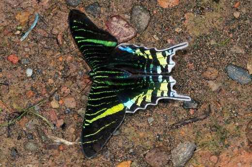 Green-Banded Urania, Urania Leilus (Uraniidae: Uraniinae), A Day Moth, Yasuni National Park, The Amazon, Ecuador : Stock Photo