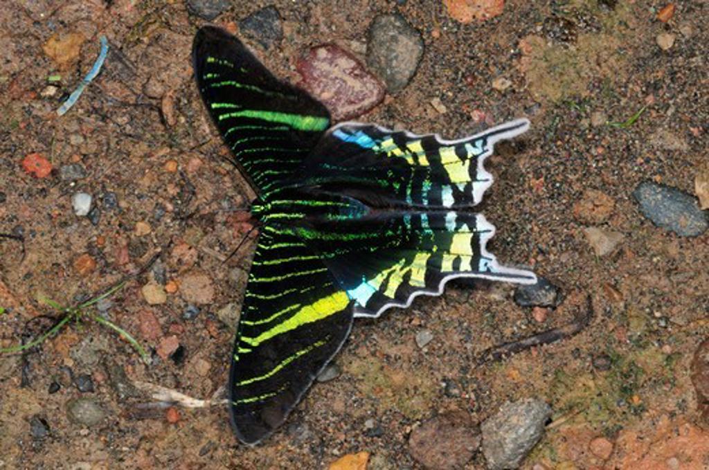 Stock Photo: 4141-57892 Green-Banded Urania, Urania Leilus (Uraniidae: Uraniinae), A Day Moth, Yasuni National Park, The Amazon, Ecuador