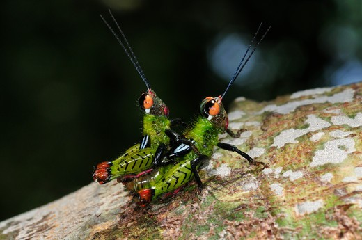 Stock Photo: 4141-57896 Undescribed Acridiidae Grasshoppers, Mating, Yasuni National Park, The Amazon, Ecuador