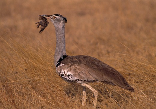 Stock Photo: 4141-5793 kori bustard ardeotis kori with small bird prey. kenya