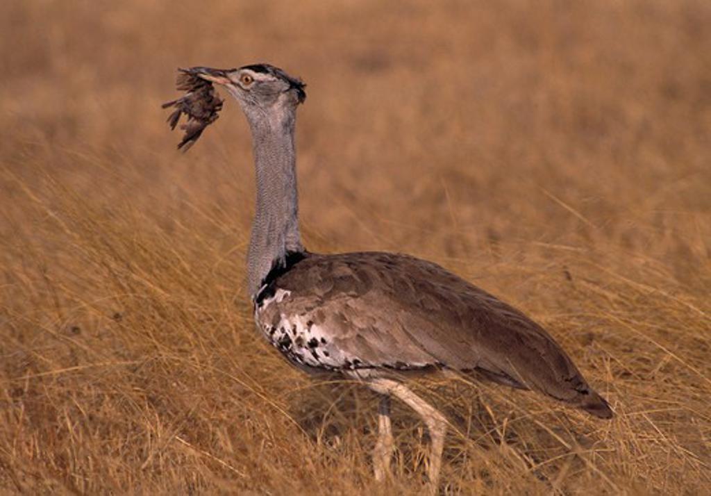 kori bustard ardeotis kori with small bird prey. kenya  : Stock Photo
