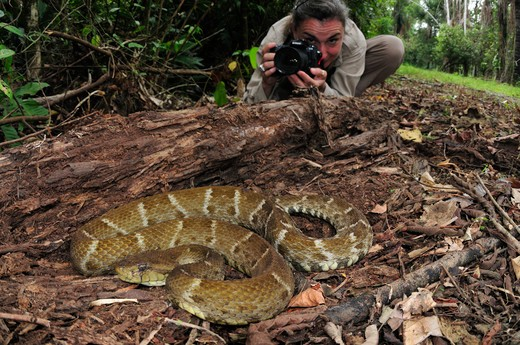 Photographer Antonella Ferrari With Lancehead Pit-Viper Bothrops Atrox, Latin America'S Most Dangerous Snake, Yasuni National Park, The Amazon, Ecuador : Stock Photo