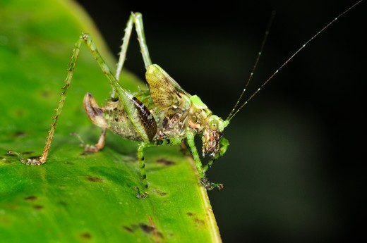 Stock Photo: 4141-58064 Leaf-Mimic Katydid (Tettigoniidae), Yasuni National Park, The Amazon, Ecuador