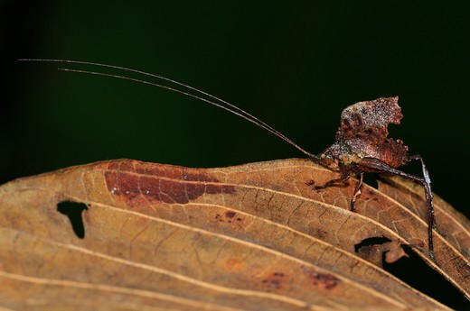 Dead Leaf-Mimic Katydid (Tettigoniidae), Yasuni National Park, The Amazon, Ecuador : Stock Photo