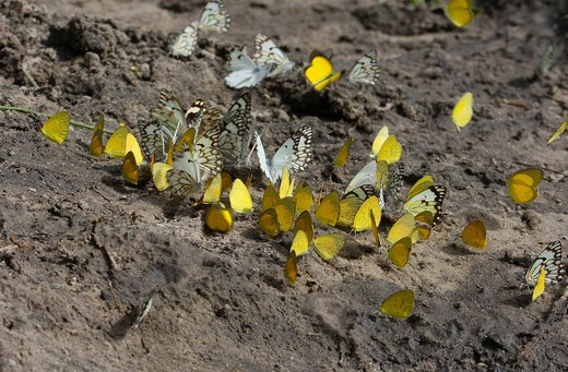 Several Different Species Of Pieridae Butterflies At Mineral Lick , Moremi, Okavango Delta, Botswana. : Stock Photo