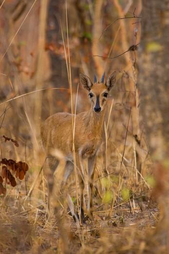 A Common Duiker (Sylvicapra Grimmia) In Kafue National Park, Zambia. : Stock Photo