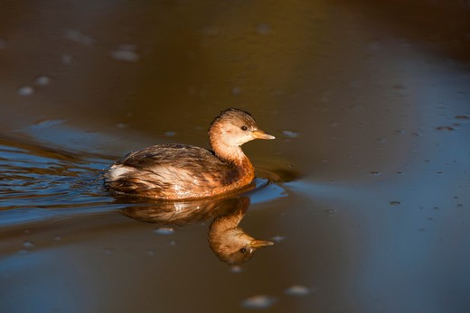 A Little Grebe (Tachybaptus Ruficollis) Swimming In Estuary, River Erme, Devon, U.K. : Stock Photo