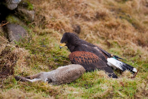 A Male Harris Hawk (Parabuteo Unicinctus Harrisii) Used For Falconry Mantles Its Rabbit Kill, Cornwall, U.K. : Stock Photo